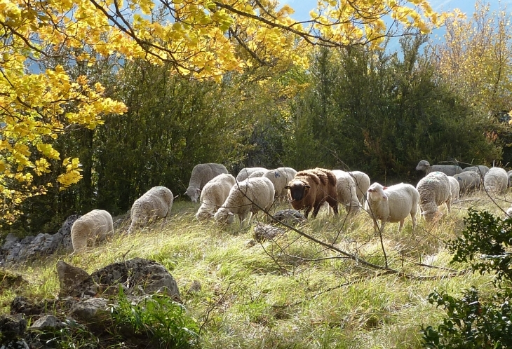Moutons de Beaumont en Diois